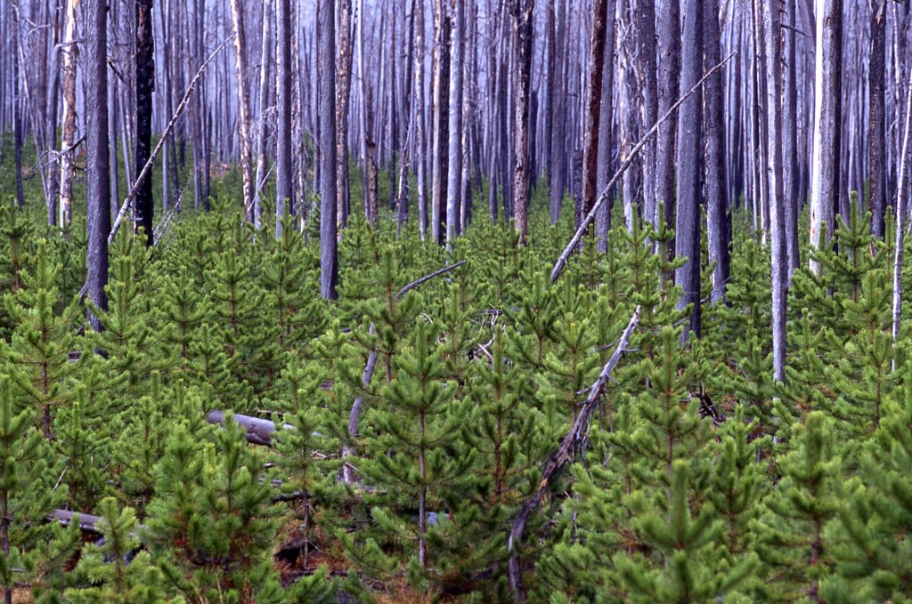 A new generation of lodgepole pines