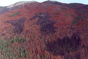 Pine_Beetle_forest_damage10